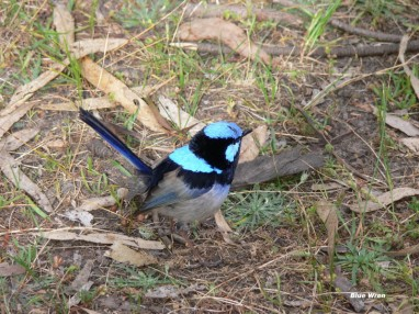 Blue Wren at Lake McIntyre