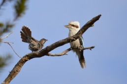 Wattle Bird and Kookaburra