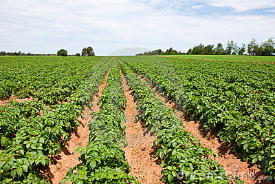 potato-plants-thumb24200937