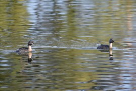 2 Hoary Headed grebes