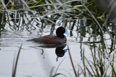 Male Blue billed duck