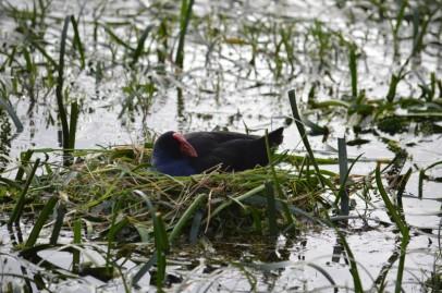 Purple Swamp Hen on nest