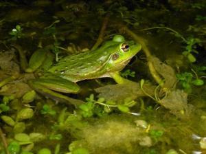 Adrian's frog December 2013